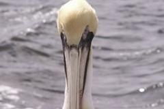pelican_001